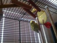 Female budgie with cage and assesories