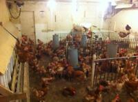 1 year old laying hens.