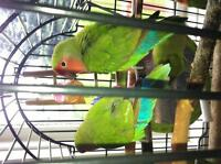 Male&female love birds 709 488 3451