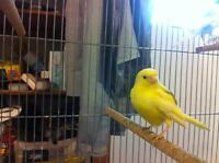Male Canaries