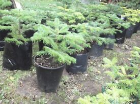 Nordman Fir potted Christmas tree