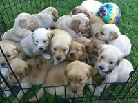 Golden retriever pups, puppies