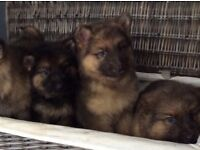 Stunning GHD puppies 2 males available