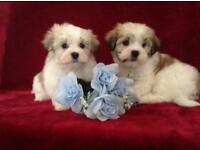 cavachon x maltese puppies small fluffy nonmoulting dog adorable puppy