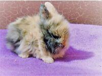 Lionhead Baby Rabbits RTR