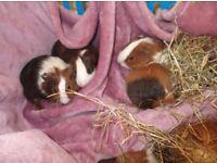 baby guinea pigs £17 each