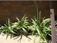 AGAPANTHUS PLANTS FOR SALE * from 2nd year plants in 9cm pots at £1 to £14 for very large mature pot