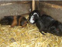 5 guinea pigs.