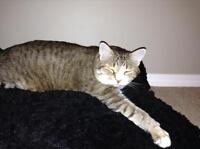 Beautiful male Tabby in need of good home