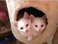 Angora x Turkish van kittens