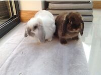 2 Lovely Rabbits to a good home
