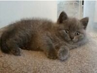 British Shorthair Kittens gccf pedigree