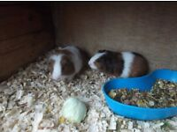 baby guinea pigs ready now £17 each