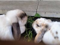 Two female lop eared rabbits - to rehouse - FREE