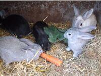 4 silver fox bunnys.