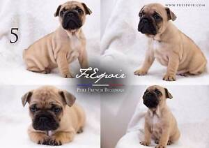 Pied & Fawn Purebred French Bulldog Puppies (VIDEO AVAILABLE) Miners Rest Ballarat City Preview