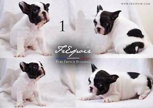 Pied & Brindle Purebred French Bulldog Puppies (VIDEO AVAILABLE) Miners Rest Ballarat City Preview