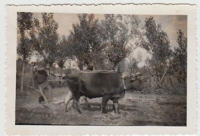 (F29017) Orig. Foto Bauer mit Holzpflug und Rinder a.d. Somme 1940