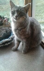 1.5yr old Grey Tabby Cat