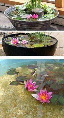 Seerose Rose arey winterharte schnellwüchsige Teichpflanze Teichrose gegen Algen