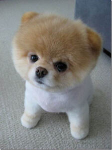 looking for a teacup pomeranian