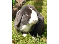 Blue split male mini lop & 3 tier hutch
