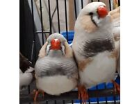 Canarys, budgies& zebra finches for sale ,delivery ,cages available,avariy,pet,birds,caged,