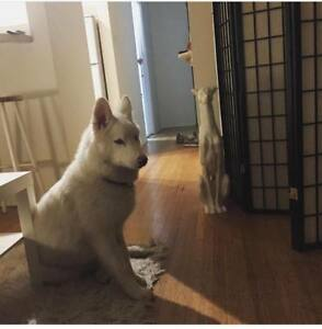 Beautiful Husky 1 year old Pup for Adoption