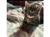 3 Beautiful tabby kittens ready for their new loving home