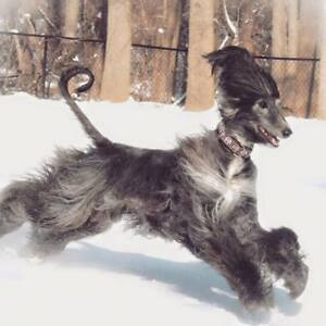 ELITE AFGHAN HOUNDS PUPPIES
