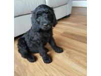 2 black f2 goldendoodle puppies girls