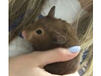 Brown 7 month old Female Syrian Hamster