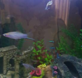 Tropical fish swordtail