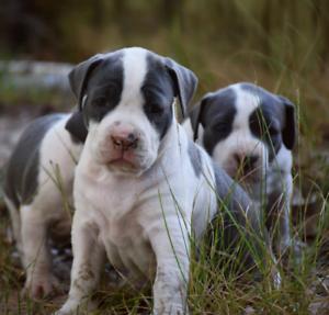 Quality Purebred Blue American Staffy Pups - Andonas Lines