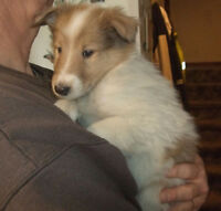 Rough Collie & Irish Wolfhould pups
