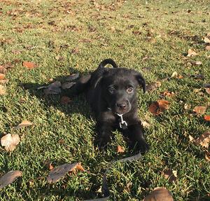 Black Lab Border Collie Cross Puppies