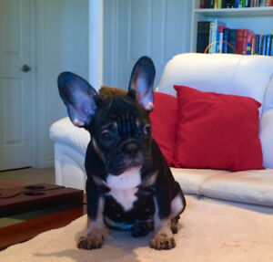 High quality rare black tri male french bulldog