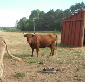 **REDUCED**   BRED COW Kawartha Lakes Peterborough Area image 1