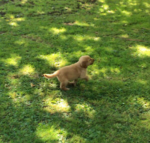 Sell 2month old Pure golden retriever (sold)