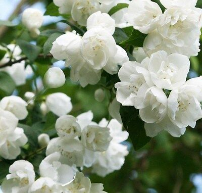 Philadelphus Virginal Mock Orange - Highly Fragrant Shrub