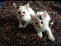 Two Siberian kittens for sale