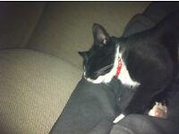 *Reward* Missing black and white tuxedo cat