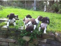 pedigree english springer spaniel puppies