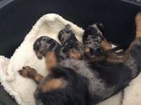 Silver dapple dachshund puppy's