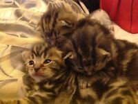 Beautiful kittens ready for there forever home, 8weeks old 5 tabbies and 2 grey