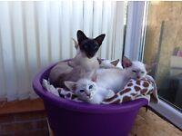 Pedigree Registered Siamese kittens