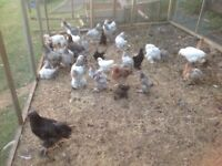 Brahmas the large chickens lovely colours