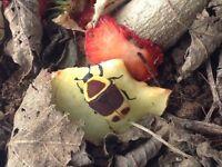Sun beetle colony pachnoda marginata