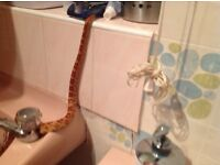 3 Large Corn Snakes With 4ft Tank FOR SALE
