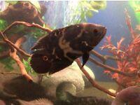 Cuban cichlid, Siamese tiger fish , wild oscar